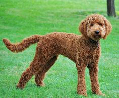 Choosing a grooming style for your Labradoodle? Take a look at these awesome Labradoodle haircut styles for your inspiration. Mini Goldendoodle, Red Labradoodle, Goldendoodle Haircuts, Goldendoodle Grooming, Dog Haircuts, Dog Grooming, Labradoodles, Goldendoodles, Australian Labradoodle