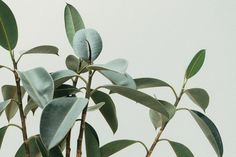 How To Care For A Rubber Plant (Ficus Elastica) - Smart Garden Guide Best Indoor Trees, Indoor Plant Wall, Indoor Plants Low Light, Ficus Elastica, Big Plants, Tropical Plants, Green Plants, Desert Plants, Potted Plants
