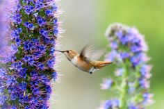 Pride of Madeira, Echium Candicans, Echium Fastuosum, Drought tolerant plants, Summer blooms, Deer resistant Plant, coastal plants, Seaside Plants