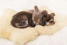 Welpen, Chihuahuas, Hundebabys, Körbchen,schlafend