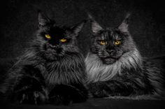 Photographer Robert Sijka sheds new light on one of the internet's most beloved creatures, cats. The Hong Kong-based creative focuses his attention on the Maine Coon, the largest breed of domesticated felines. Their distinctive appearance includes long fur that frames their face like a lion, in addition to a robust build—they can grow up to nearly four feet in length. Despite this physically-imposing stature, Maine Coons have earned the nickname gentle giant with personalities that are akin…