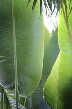 The Traveler's Palm got its name by assisting travelers of Madagascar. The palm's leaf folds and hollow base can store up to a quart of water. The tree could also be used as a makeshift compass because it always grows east to west.  Columbus Dispatch