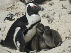 Penguins 🐧🐧, Cape Town , South Africa Cape Town, Penguins, South Africa, Photography, Animals, Photograph, Animales, Animaux, Fotografie