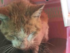 Help us Save NYC AC&C Shelter Cats SUPER URGENT MANHATTAN CENTER  HOGARTH – A1093232  MALE, ORANGE / WHITE, DOMESTIC SH MIX,10 mos STRAY – STRAY WAIT, NO HOLD Reason STRAY Intake condition ILLNESS Intake Date 10/12/2016, From NY 10460, DueOut Date 10/15/2016,