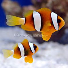 Clarkii Clownfish - Captive-Bred: Saltwater Aquarium Fish for Marine Aquariums Saltwater Aquarium Fish, Saltwater Tank, Home Aquarium, Clownfish, Marine Aquarium, Beautiful Fish, Ocean Creatures, Exotic Fish, Animal House