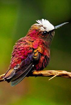 Snowcap (Microchera albocoronata). A tiny hummingbird of Central America. photo: raulvega.