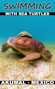 A simple guide on how to go swimming and snorkeling with sea turtles in Akumal, Mexico for FREE! No tour guide needed. One of the best activities to in the Yucatan. A quick and day trip from Cancun, Playa Del Carmen, Tulum or the Riviera Maya.