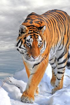 Siberian Tiger. Biggest hunters in the world.