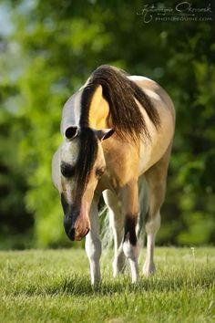 Miniature horse stallion.......Poland.....gorgeous