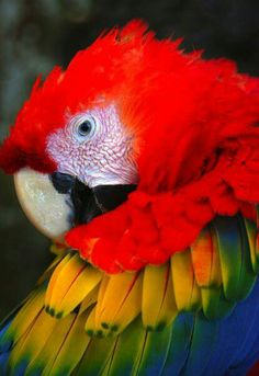 Lapa Roja - Fauna - Costa Rica ~ just amazing ... the colors of nature ...<3