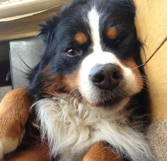Need this Bernese Mountain Dog puppy!