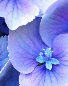 Found on Bing from www.pinterest.com Blue Flowers, Beautiful Flowers, Beautiful Gorgeous, Hortensia Hydrangea, Hydrangea Bloom, Hydrangea Flower, Art Aquarelle, Lavender Blue, Periwinkle Blue