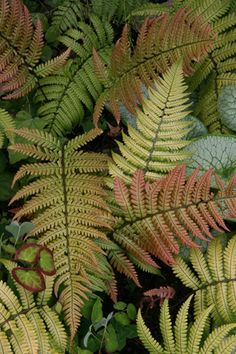 Sunset Fern creates a lovely contrast to all of the deep greens in shady areas