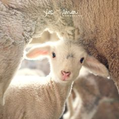 He was led as a lamb to the slaughter, and as a sheep before its shearers is silent, so He opened not His mouth. Isaiah How I love the Lamb of God! Cute Baby Animals, Farm Animals, Animals And Pets, Funny Animals, Wild Animals, Cabras Animal, Gato Animal, Beautiful Creatures, Animals Beautiful