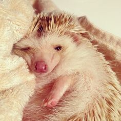 Hedgehog - maybe not furry, but certainly adorable Super Cute Animals, Cute Baby Animals, Animals And Pets, Funny Animals, Sleepy Animals, Happy Hedgehog, Cute Hedgehog, Hedgehog Cupcake, O Castor