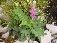 Hedysarum hedysaroides - kopyšník tmavý