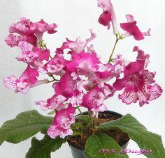 Streptocarpus DS- Fifa plug plant