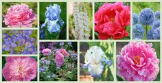 To help you plan your late spring or early summer garden, here is a plant combination, in shades of pink and soft blue, which includes 4 fabulous peonies that will bloom in succession