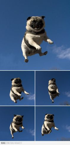 Flying Pug. Someone somewhere is flinging this poor cutie repeatedly into the air just for a spot on Pinterest.  Well done! jh