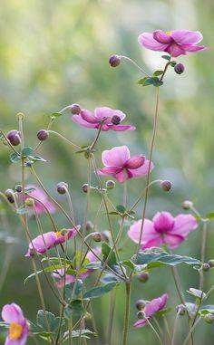 raindropsonroses-65: Anemones (by rvtn)