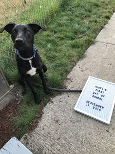Today was Nigels first day of obedience class! Tried to take a pic with his sign propped up but Nigel thought the sign was too scary so we laid it down instead. My sweet boy! Cute Puppies, Bunnies, Scary, Labrador Retriever, Cute Animals, Sign, Sweet, Labrador Retrievers, Pretty Animals