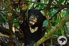 Meet Kala, the most adorable little sun bear! | 18 Pictures Of An Ecstatic Orphaned Sun Bear Returning To The Wild
