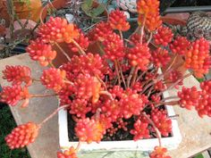 Jelly Bean Sedum This is too cute! I want it at work to brighten up my desk!