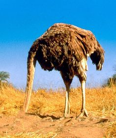 Ostriches bury their heads in the sand when they're scared or threatened. Ostriches are the largest living birds, but their heads are pretty small. Ostrich Head In Sand, The Ostrich, Head In The Sand, Weight Loss Blogs, Mundo Animal, All Gods Creatures, Big Bird, Bury, Beautiful Birds
