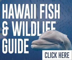 Welcome to our Hawaii fish & marine wildlife guide. Maui, Kauai & Big Island's most frequently seen fish, humpback whales, turtles, sharks, coral & more.