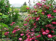 Priscilla-Burton-rose-bush