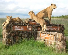 Lions at the Nairobi National Park