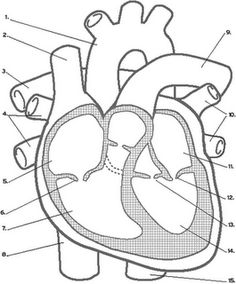 The parts of the heart blank printable teacher human body and anatomical heart cut out craft ccuart Choice Image