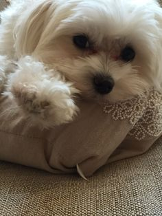 Maltese and Children: Is It a Good Combination - Champion Dogs Cute Puppies, Cute Dogs, Dogs And Puppies, Doggies, Animals And Pets, Baby Animals, Cute Animals, Maltese Dogs, Teacup Maltese