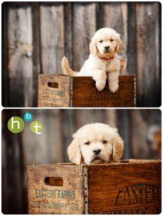 Golden Retriever Puppy. {Pet Photography} HBT photo blog. www.hbtphoto.com. {Portraits} {Dog} {Photo Session Ideas} {Puppies}