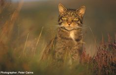 Britain's only remaining wild cat