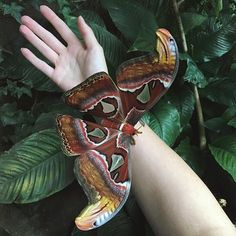 The Atlas moth is considered among the largest moths in the world. In Cantonese their name translates as 'Snake's Head Moth', looking at the tips of it's wings you can see why. The Moths are unsteady fliers. Females do not stray far from the location of her discarded cocoon, she perches on a near by branch where air currents carry her pheromones away for the males to detect from as far as several miles. Photo credit: @weepling