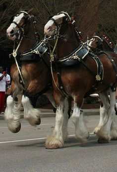 Budweiser Clydesdales at St. Louis opener by Subjects Chosen at Random Budweiser Clydesdales at St. Louis opener by Subjects Chosen at Random Big Horses, Work Horses, Horse Love, Black Horses, All The Pretty Horses, Beautiful Horses, Animals Beautiful, Horse Pictures, Animal Pictures