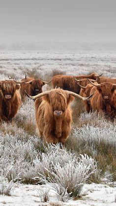 Cute Baby Cow, Baby Cows, Cute Cows, Cute Baby Animals, Farm Animals, Scottish Highland Cow, Highland Cattle, Cow Pictures, Animal Pictures