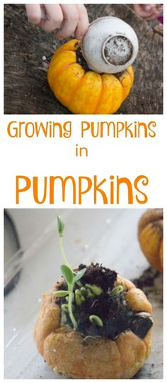 You can grow a pumpkin plant right in a pumpkin with this hands-on experiment for kids!