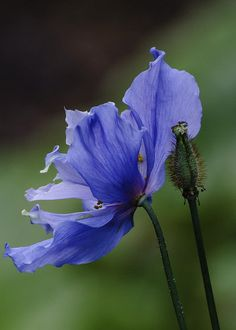 Blue Himalayan poppy, Vancouver | by gks18