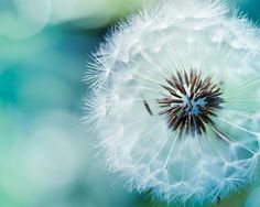 """Dandelion photo - fine art photography 8x10 - blue green teal nature photo print -  photograph botanical """"Delicate"""" clickety"""