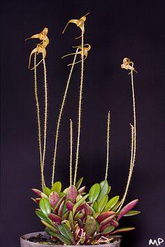 Porroglossum muscosum; by M@ximeP, via Flickr