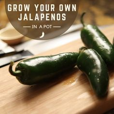 Learn how to grow your own spicy and delicious jalapeños in a pot at home with this thorough and easy guide to growing these wonderful peppers! Growing Green Peppers, Growing Jalapenos, Growing Greens, How To Grow Jalapenos, Stuffed Jalapeno Peppers, Stuffed Green Peppers, Courtyards, Patio
