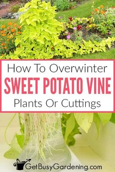 Sweet Potato Plant Vine, Potato Vines, Gardening For Beginners, Gardening Tips, All About Plants, Vegetable Garden Design, Edible Garden, Garden Plants, Indoor Plants