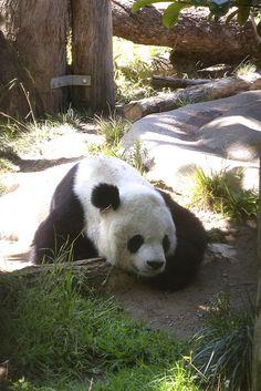 #panda #pandas Gao Gao in his garden by Rita Petita, via Flickr