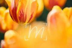 Fine art photo cards tulip collection by monikarae on Etsy, $15.00
