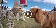 Boomer the Silver Bengal Goes Nose to Nose with 50 Dogs - http://www.bengalcats.co/boomer-the-bengal-goes-nose-to-nose-with-50-dogs/