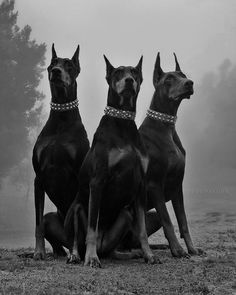 The Doberman Pinscher is among the most popular breed of dogs in the world. Known for its intelligence and loyalty, the Pinscher is both a police- favorite bree Mini Doberman, Doberman Puppies, Rottweiler Dog, Dogs And Puppies, Blue Doberman, Chihuahua Dogs, Black And White Picture Wall, Black And White Pictures, Perro Doberman Pinscher