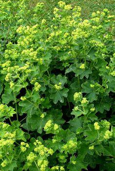 MARIKÅPE - Alchemilla vulgaris