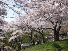 田代公園の桜